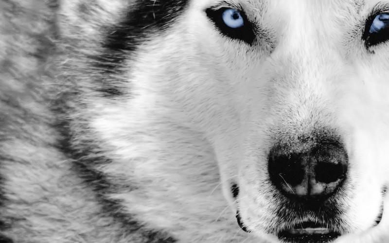 01-lobos