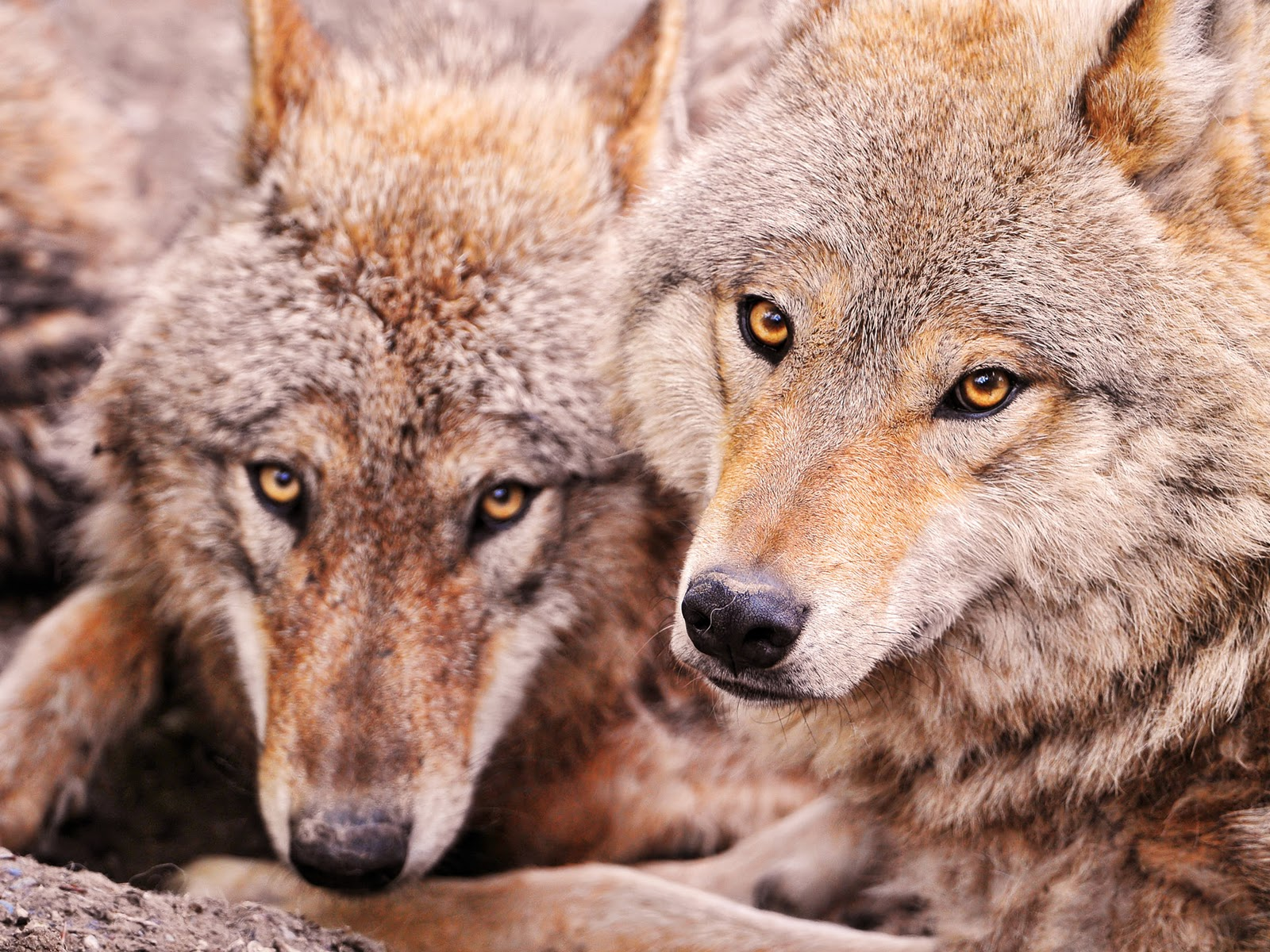 Lobos, fondos de pantalla de lobos, Wallpapers HD