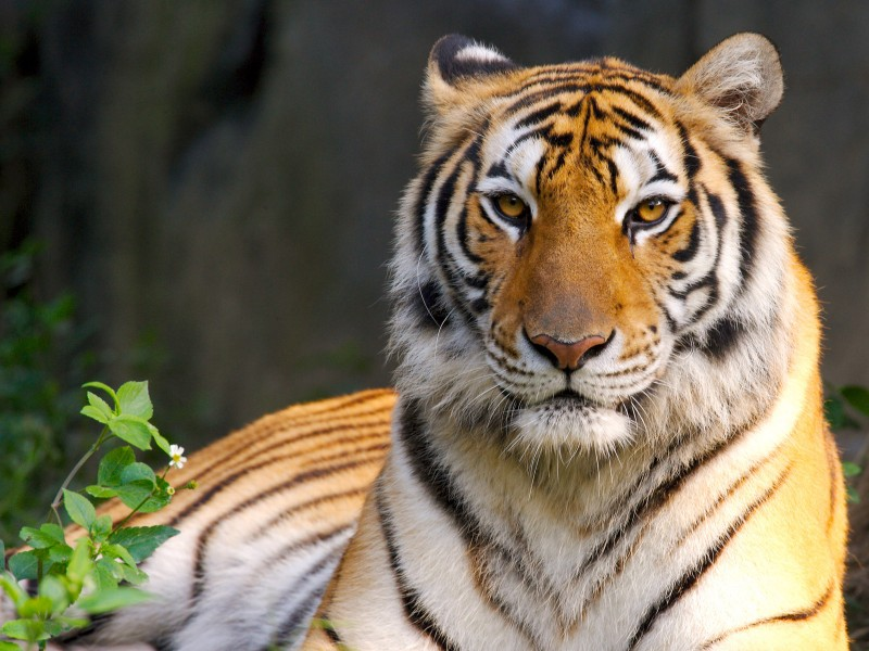 01-tigres-fondos