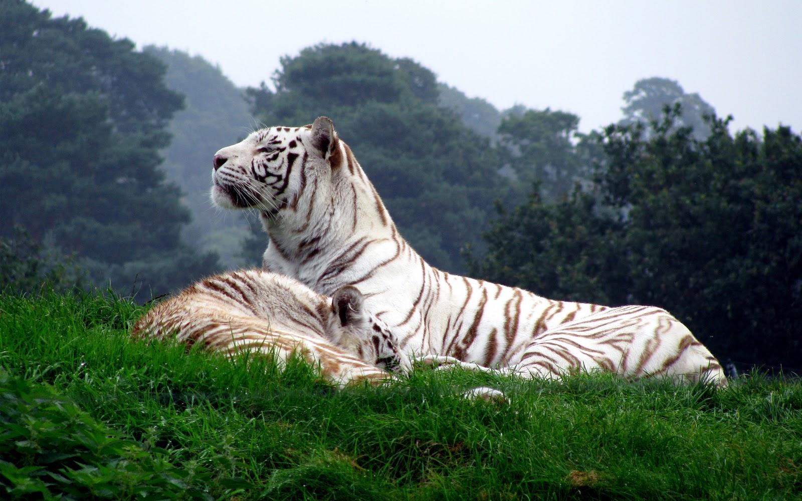 Fantasy Tiger Hd Desktop Wallpapers Widescreen High: Fondos De Tigres, Imágenes De Tigres, Fotos Y Wallpapers En HD