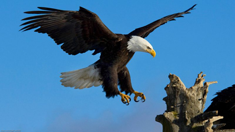 aguila-real-wallpapers-hd