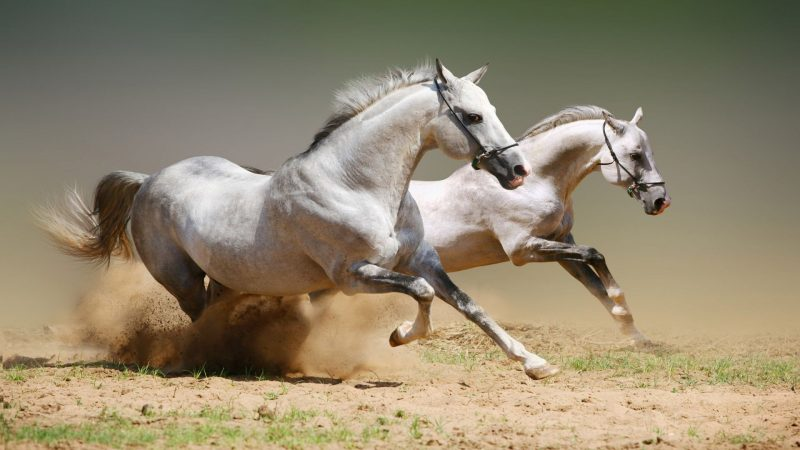 caballos-salvajes-corriendo-wallpapers-hd