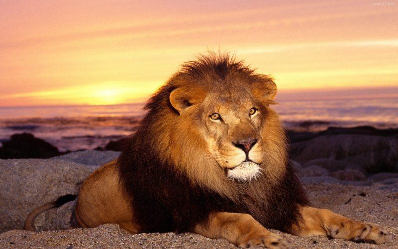 fondos-de-pantalla-animales-leon