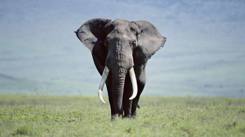 fondos-pantalla-elefante