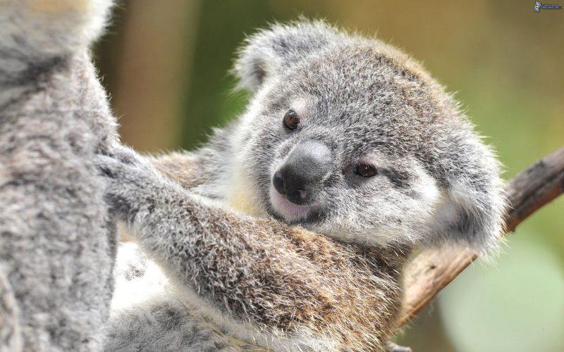 koala-cachorro-fondos-hd