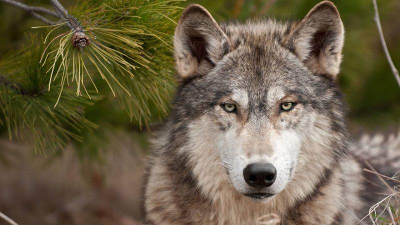 lobos-fondos-hd