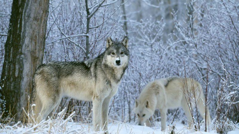 manada-lobos-fondos-hd