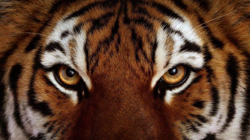 mirada-tigre-fondos-hd