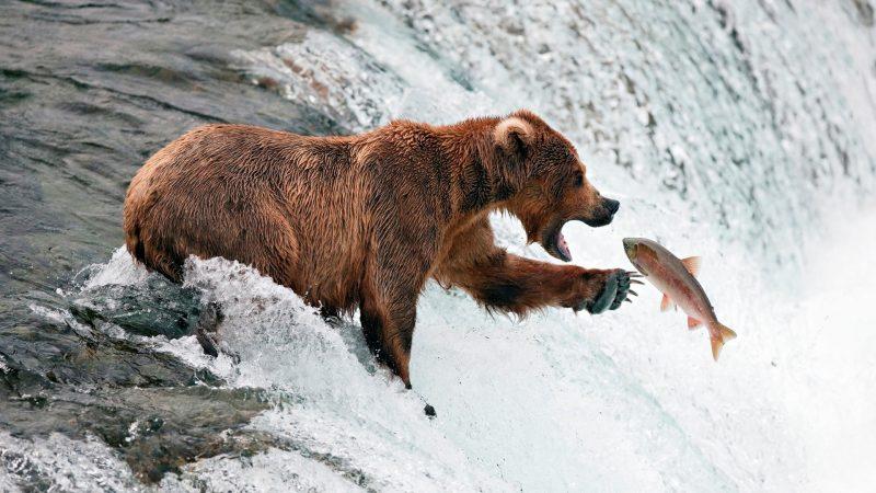 oso-cazando-wallpaper-hd