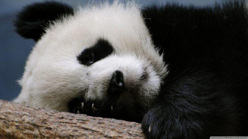 oso-panda-wallpapers-hd