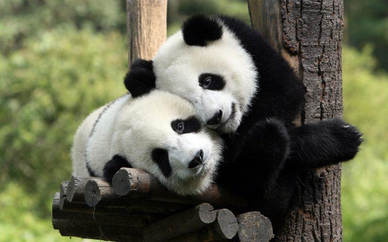 osos-panda-fondos-pantalla-hd