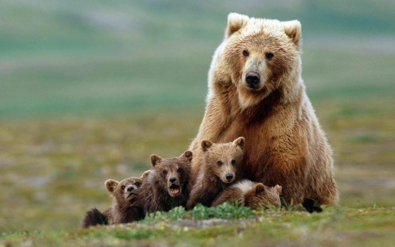osos-pardos-fondos-pantalla-hd