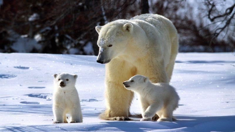osos-polares-blancos-fondos-hd