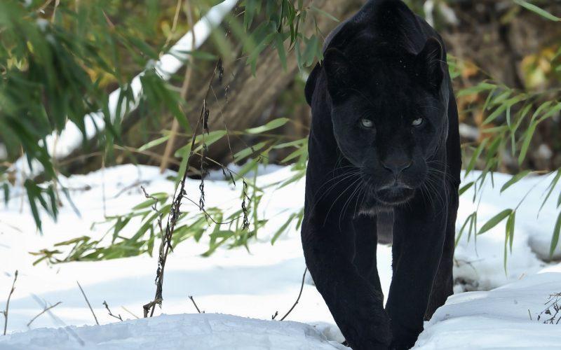 pantera-negra-animales-salvajes-fondos-hd
