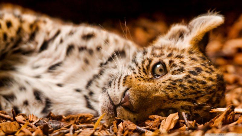 tigre-cachorro-fondos-hd