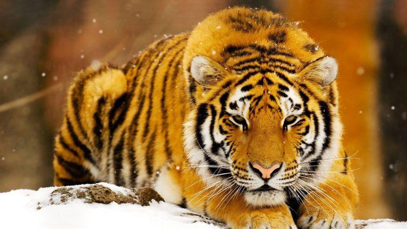tigre-de-bengala-fondos-pantalla-hd