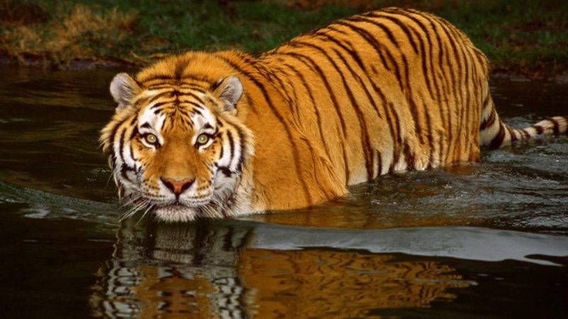 tigre-fondos-hd