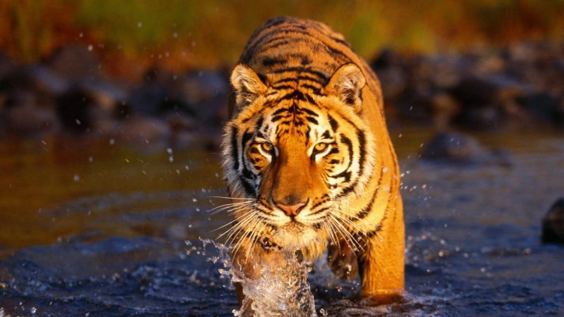 tigres-animales-salvajes-wallpapers