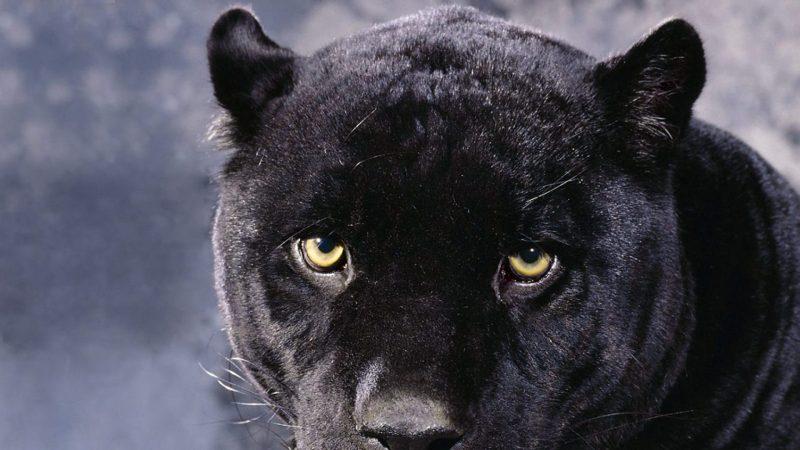 wallpapers-animales-panteras-negras