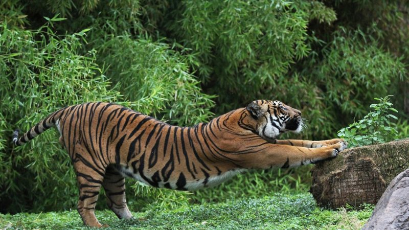 wallpapers-tigres-salvajes