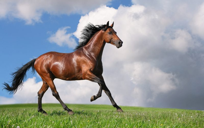 caballo-marron-fondo-hd