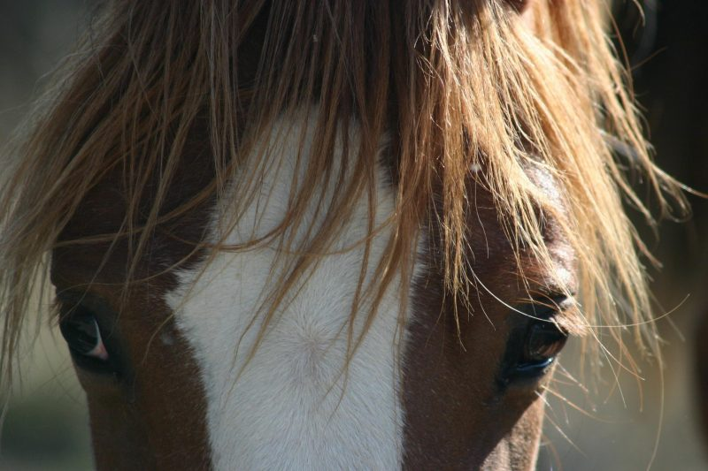 caballo-mustang