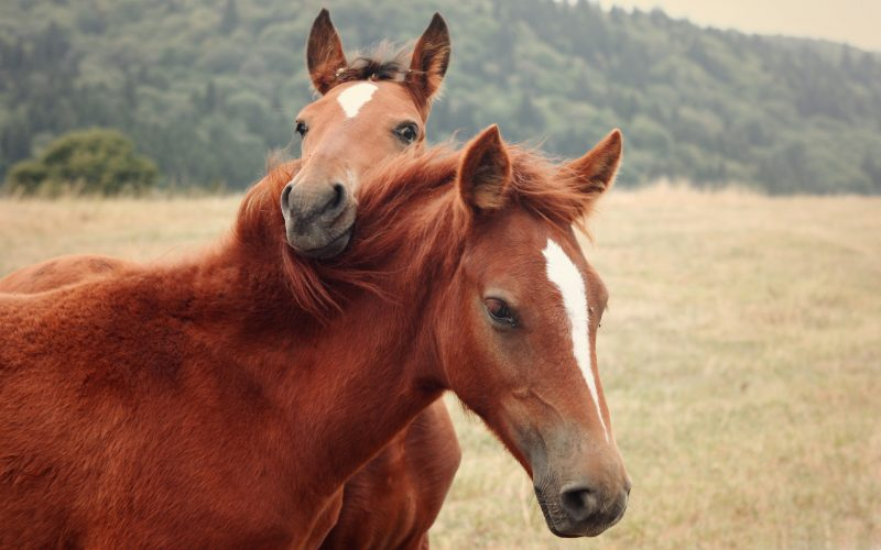 pareja-caballos