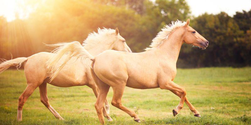pareja-caballos-trotando
