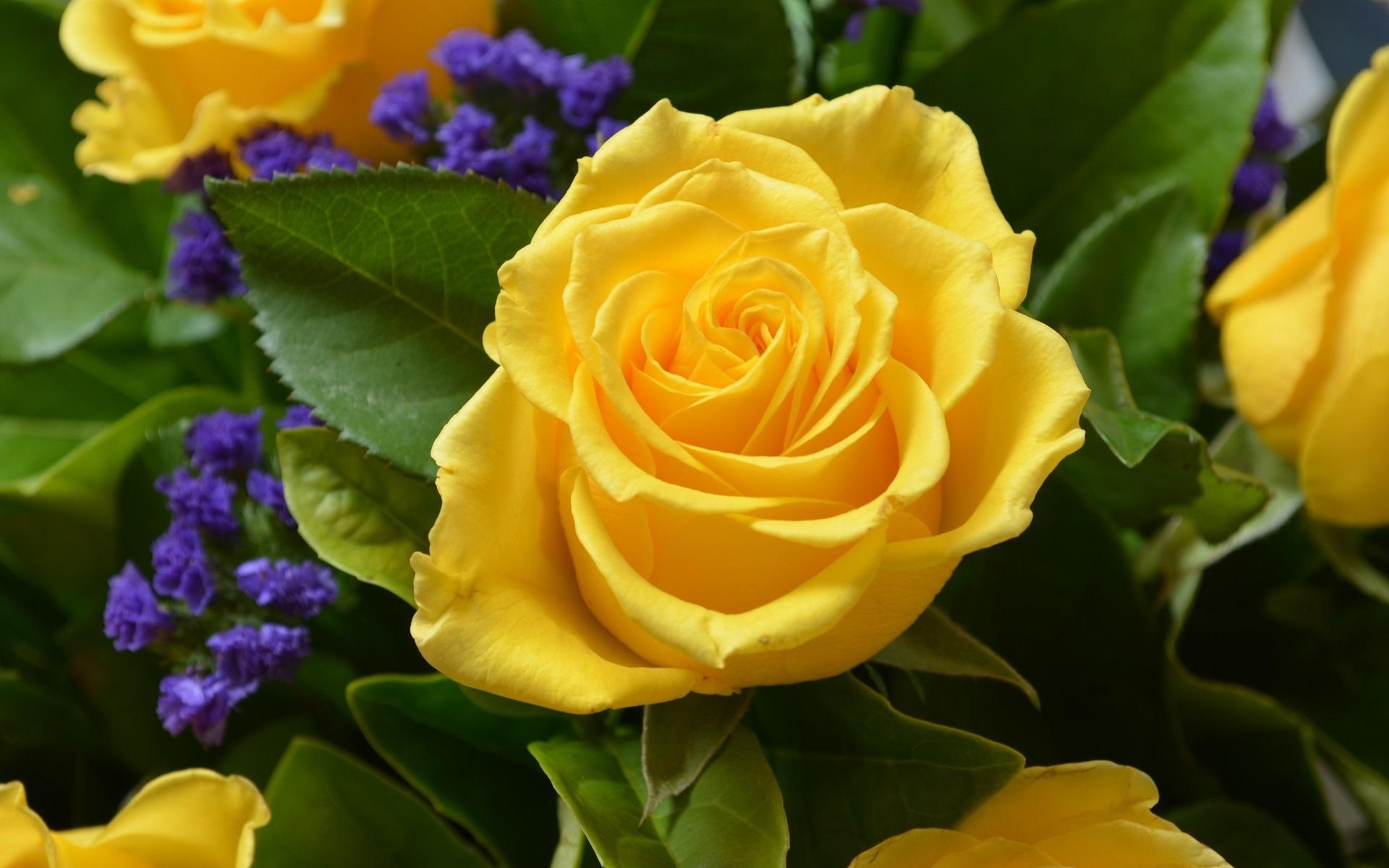 Fondos de flores wallpapers hd gratis - Rose flower images full size hd ...