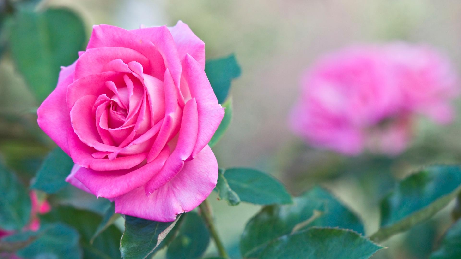 Fondos de flores wallpapers hd gratis - Images of red roses hd ...