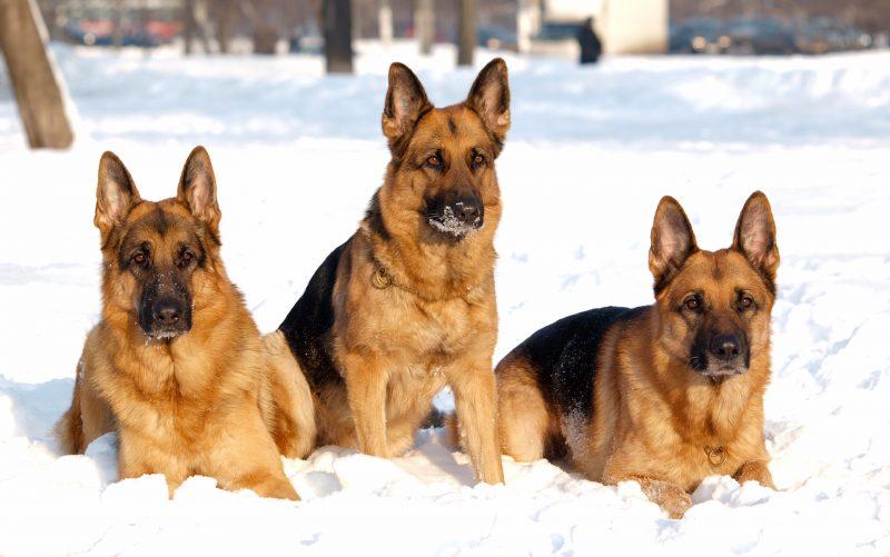 fondos-pantalla-perros-35