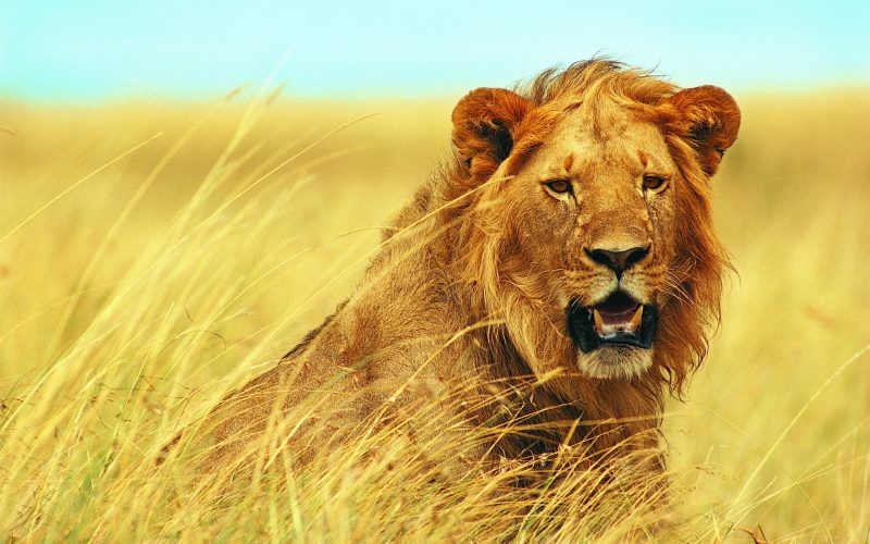 leones-1