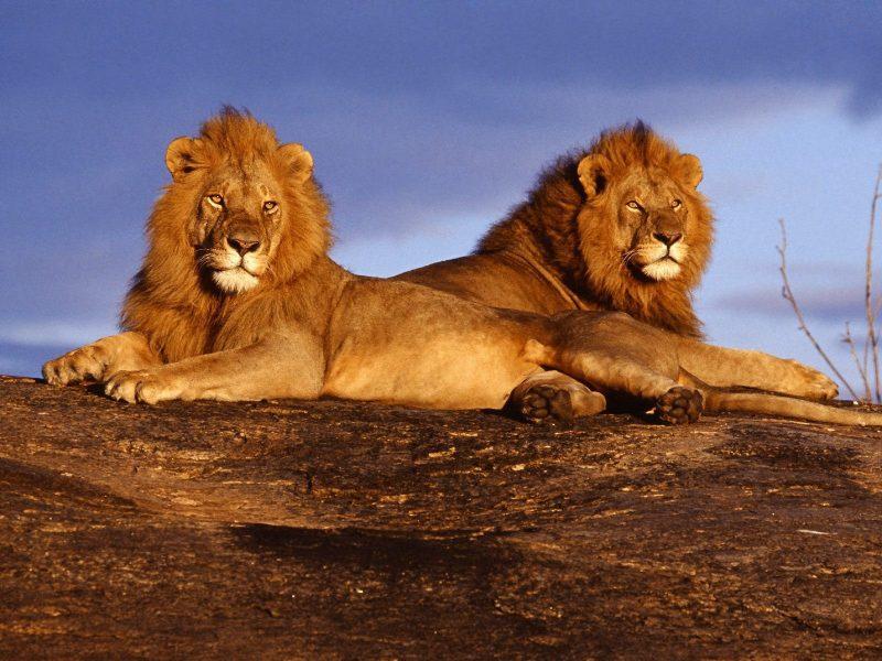 leones-10