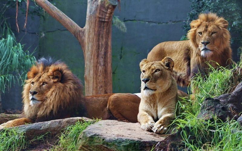 leones-11