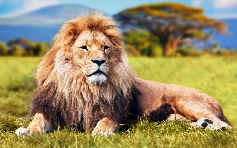leones-12