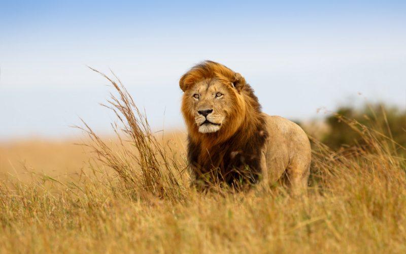 leones-13