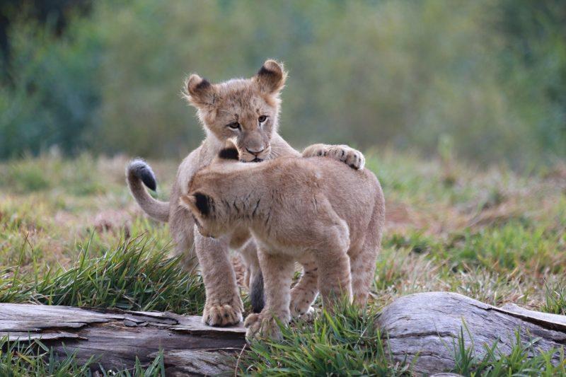 leones-14