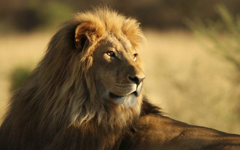 leones-15