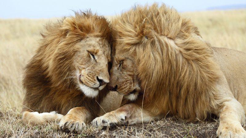 leones-16