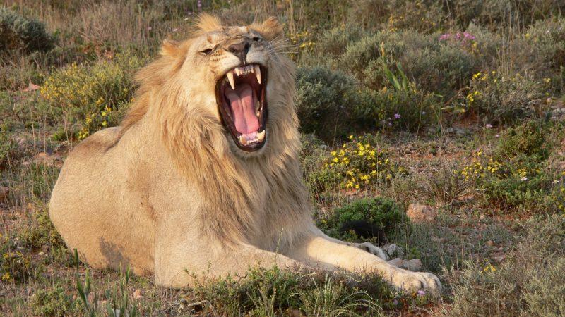 leones-17