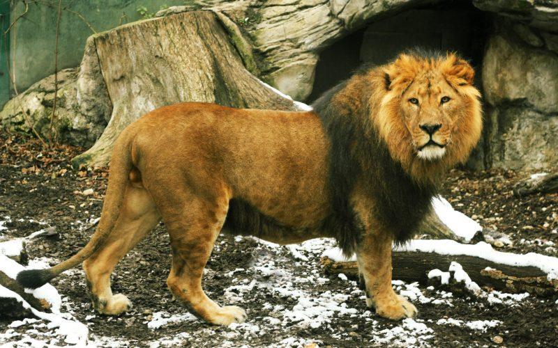 leones-18