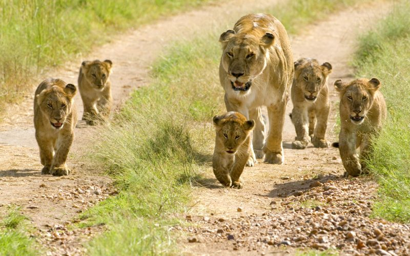 leones-3