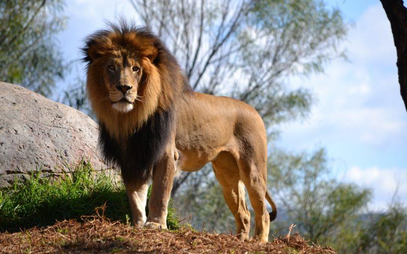 leones-4
