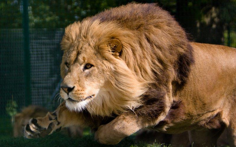 leones-5