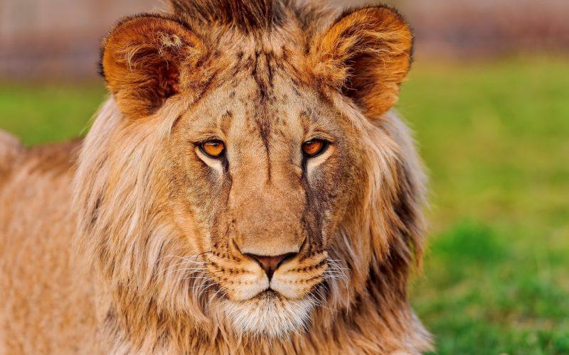 leones-6
