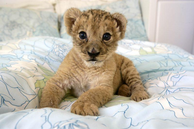 leones-7