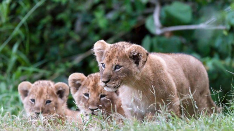 leones-8