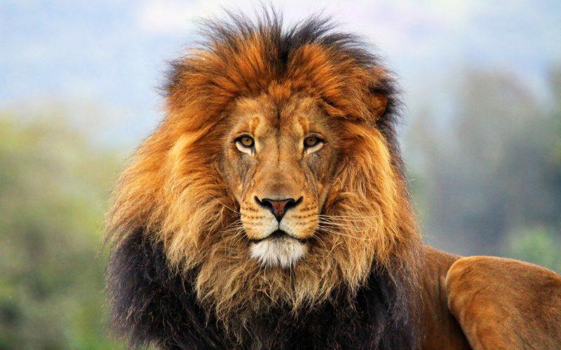 leones-wallpapers-1