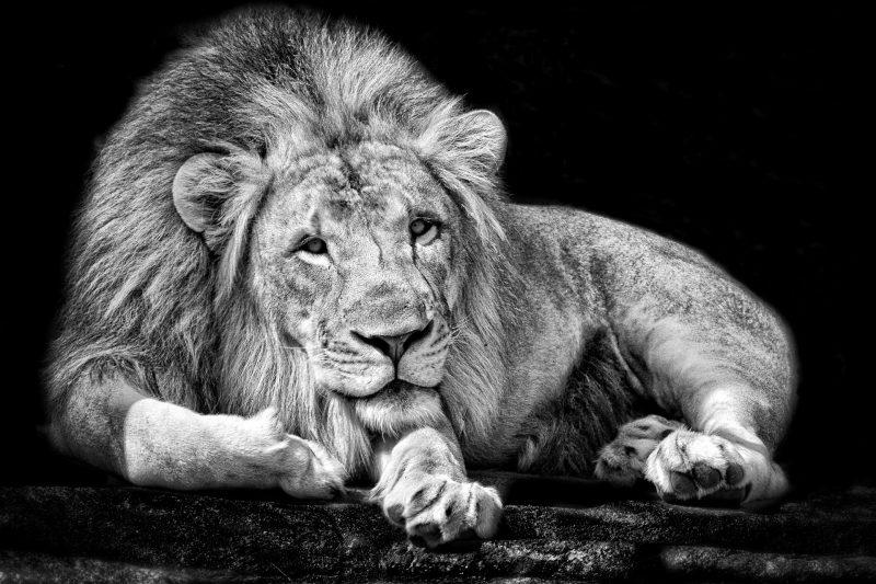 leones-wallpapers-15