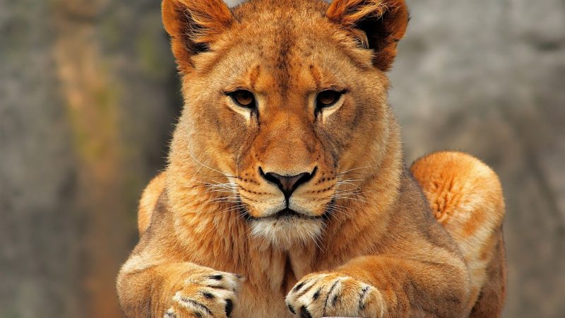 leones-wallpapers-22
